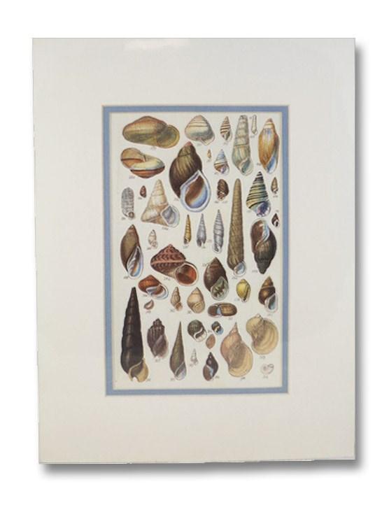 Seven Color Natural History Prints Depicting Numerous Varieties of Seashells [Conchology, Sea Shells, Mollusca]